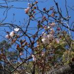 大阪で桜が開花したけど伊丹の桜はどうなのか見てきた